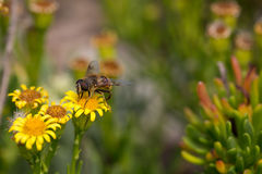 Honey Bee on Yellow Flower, Close Up Macro.  Stock Photography