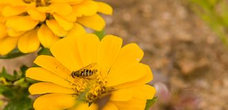 Honey bee on yellow flower Royalty Free Stock Photos