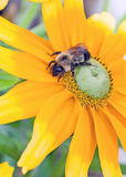 Honey Bee On A Yellow Flower Stock Images