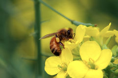 Honey bee. On yellow flower collecting pollen Stock Photography