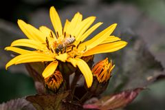 Honey Bee and Yellow Flower. Honey Bee hard at work atop the bloom of a `Britt-Marie Crawford,` Big Leaf Ligularia Stock Images