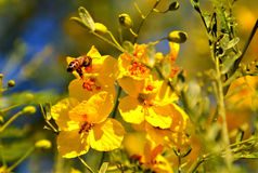 Honey Bee on Yellow Flower. Among the thousands of vibrant yellow tree flowers a single honey bee pollinates the tree and in return the bee takes the nectar and royalty free stock image