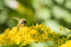 Honey Bee Royalty Free Stock Image
