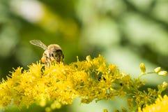 Honey Bee royalty free stock image