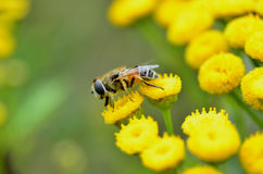 Honey bee on yellow flowers Royalty Free Stock Photos