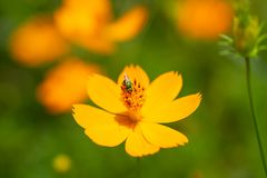 Honey bee with yellow flowers. royalty free stock photos