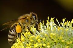 Honey Bee Zipping a Plant Royalty Free Stock Photo