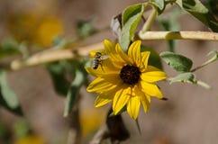 Honey Bee & Zonnebloem Royalty-vrije Stock Foto's