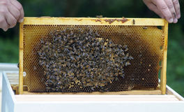 Honey Beekeeping. Bee keeper places a frame with brood (bee eggs), honey comb and lots of bees Royalty Free Stock Image