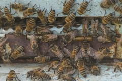 Honey Bees stockbilder