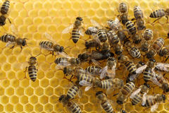 Honey Bees. On its Honeycomb royalty free stock images