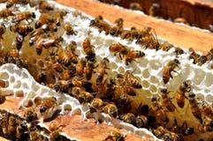 Free Honey Bees Royalty Free Stock Photo - 30300775