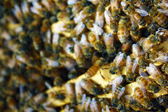 Honey Bees Arkivfoto