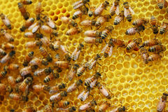 Honey Bees Royaltyfri Bild