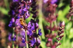 Honey Bees Imagen de archivo libre de regalías