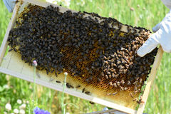 Honey Bees Fotografía de archivo