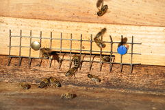 Honey Bees Fotos de archivo