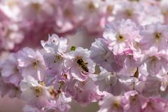 Honey bees  Apis collecting nectar pollen from white pink cherry blossom in early spring. Honeybee apis collecting nectar pollen from white pink cherry blossom stock photography