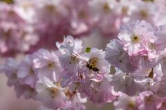 Honey bees  Apis collecting nectar pollen from white pink cherry blossom in early spring. Honeybee apis collecting nectar pollen from white pink cherry blossom stock image