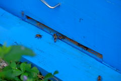 Honey bees. Approaching the entrance of the beehive Stock Photography