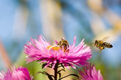 Honey bees on aster. Bees working on a aster. From flower to flower Royalty Free Stock Photography