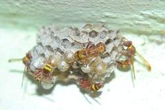 Honey Bees attivo Immagini Stock