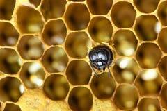 Honey Bees auf Bienenbienenstock lizenzfreie stockfotografie