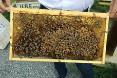 Honey Bees auf einer Bienenwabe lizenzfreies stockbild