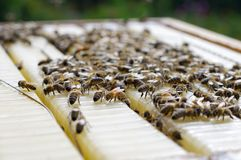 Honey bees on a beehive. Closeup Stock Image