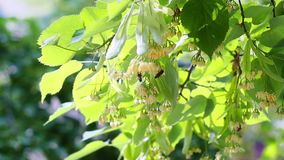 Honey bees on the blossoming yellow linden flowers at sunny day.  stock video