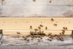 Honey bees bring pollen to beehive Royalty Free Stock Images