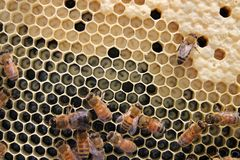 Honey bees with brood and larvae Stock Photos