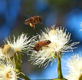 Honey Bees Busy Pollinating Sugar Gum Tree (cladocalyx do eucalipto) imagem de stock royalty free
