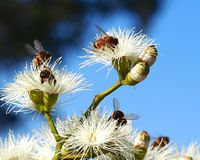 Honey Bees Busy Pollinating Sugar Gum Tree (Eukalyptus cladocalyx) lizenzfreie stockfotos