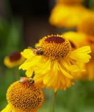 Yellow Cone Flowers with Bees Royalty Free Stock Photography