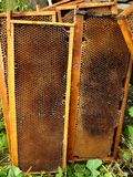 Honey bees cells Stock Image
