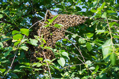 Honey bees clinging to a cherry tree Stock Images