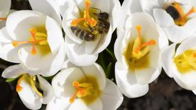 Honey bees collect nectar on crocuses stock video footage