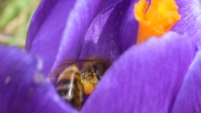 Honey bees collect nectar on crocuses stock video