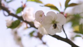 Honey bees collecting pollen and nectar as food for the entire colony, pollinating plants and flowers - Spring time to stock video footage