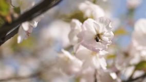 Honey bees collecting pollen and nectar as food for the entire colony, pollinating plants and flowers - Spring time to stock video