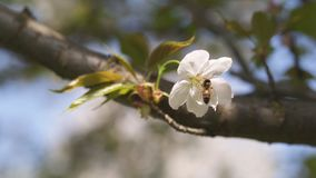 Honey bees collecting pollen and nectar as food for the entire colony, pollinating plants and flowers - Spring time to stock footage