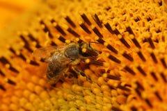 Honey Bees Royalty Free Stock Image
