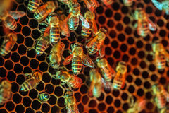 Honey bees on a comb Stock Images
