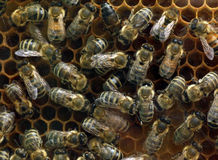 Honey Bees on a comb frame making Stock Photography