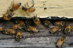 Honey Bees coming and going. From a man made beehive Royalty Free Stock Images