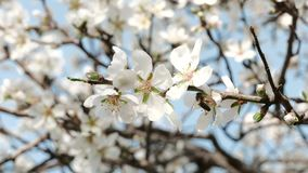 Honey Bees dans un arbre d'amande fleurissante banque de vidéos