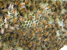Honey bees deliver nectar stock photo