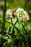 Honey Bees dropp Arkivbilder