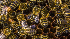 Honey Bees Eating In Honeycomb stock video footage